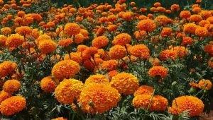 गेंदे का फूल Marigold
