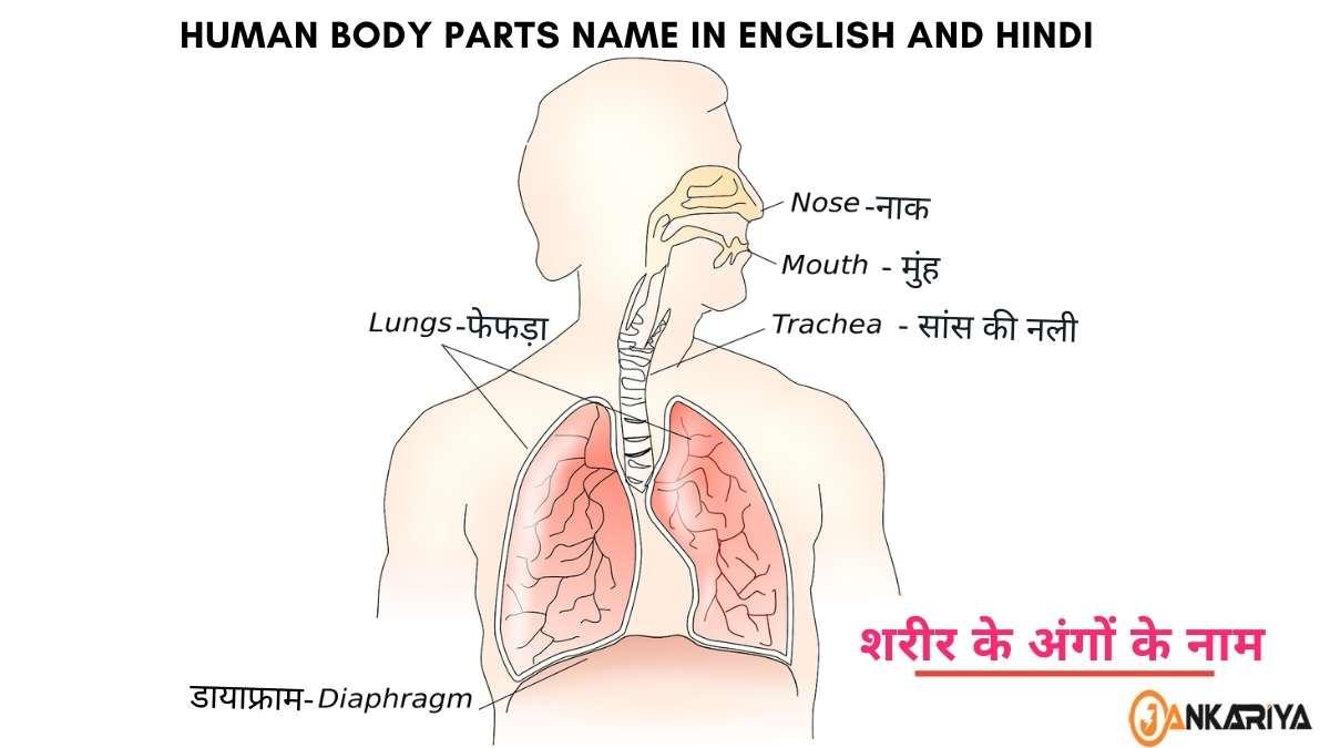 मानव शरीर के अंगो के नाम