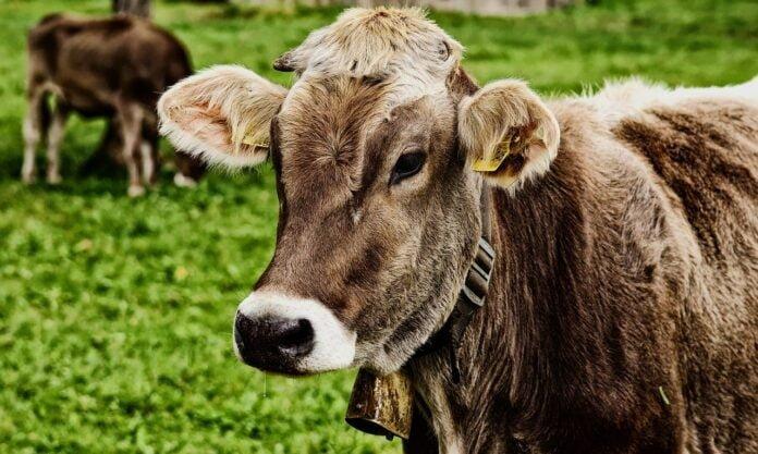 cow in Hindi